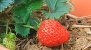 Fresh strawberry Stock Footage