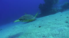 Hawksbill turtle - stock footage