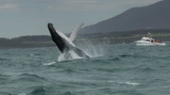 Humpback Whale Breaching - Whale-watching Boat in Background Stock Footage