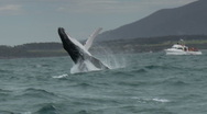 Stock Video Footage of Humpback Whale Breaching - Whale-watching Boat in Background