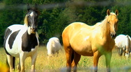 Curious horses 02 Stock Footage