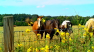 Curious horses 04 Stock Footage