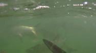 Tarpon: in and out of water Stock Footage