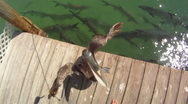 Pelican: on a dock Stock Footage