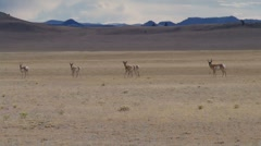 Spooked Antelope Stock Footage