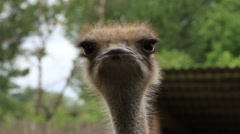 Ostrich (Struthio camelus) Stock Footage