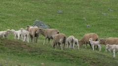 Lambs, Herd of Sheep, Ewes with Babies Stock Footage