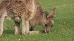 Young Grey Kangaroo - Joey Eating Grass Stock Footage