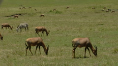Antelope A2 Stock Footage