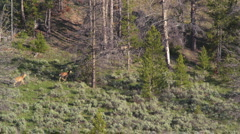 White-tailed Deer in Forest 28 - stock footage