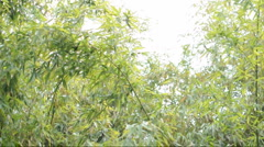 Bamboo stems and leaves blowing together in a breeze Stock Footage