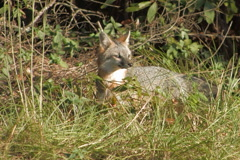 Fox foraging for food  in underbrush Stock Footage