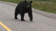 Stock Video Footage of Black Bear on side road
