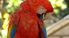 Stock Video Footage of Macaw preening