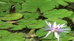 Water lillies and butterfly Stock Footage