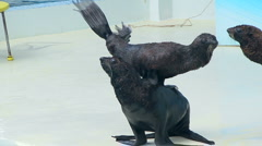 Fur Seal applause Stock Footage