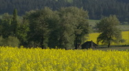 Rustic Cabin Blooming Yellow Rapeseed 1 Stock Footage