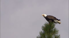 Eagle Perched on Treetop 1 Stock Footage