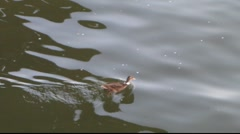 Duck swimming through water (HD) m Stock Footage