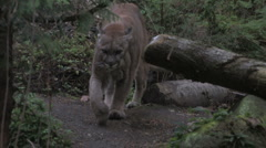 Cougar in forest 3a - stock footage