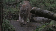 Stock Video Footage of Cougar in forest 3a