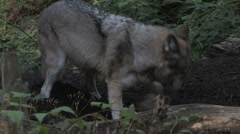 Gray Wolf Behavior 5 Stock Footage