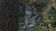 Stock Video Footage of Gray Wolf Resting in Forest 2aa