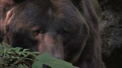 Grizzly Bear ECU 1 Stock Footage