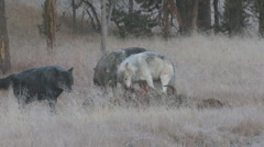 P01243 Wolf Pack Feeding on Bison Kill Stock Footage