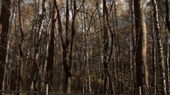 White birch forest - HD 1920X1080 Stock Footage