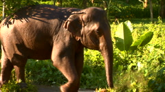 Elephant and trainer walk through Thai jungle Stock Footage