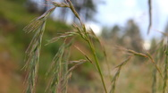 HD Spikes of wheatgrass swaying in the wind Stock Footage