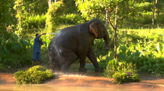 Elephant gets bath from caretaker in Thai Jungle Stock Footage