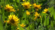 Stock Video Footage of Henry's Fork Flowers CU