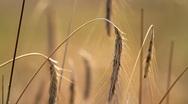 Ears Of Ripe Rye Stock Footage