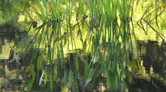 Pond Water Plant Stock Footage