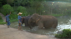 Caretakers and Elephants at waterhole in Thai jungle - stock footage