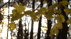 Sunbeam through beautiful yellow fall foliage swaying - HD 1920X1080 Stock Footage
