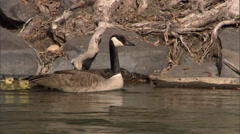 Goose and Goslings 2 Stock Footage