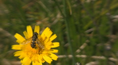 Syrphid fly on flower Stock Footage
