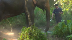 Elephant urinates :10 Stock Footage