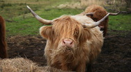 Stock Video Footage of Cow enjoying hay