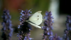 Small White (Pieris rapae) Stock Footage