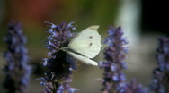Stock Video Footage of Small White (Pieris rapae)