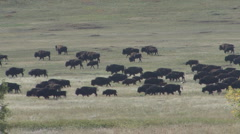 P01256 Nomadic Bison Herd Walking Stock Footage