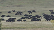 Stock Video Footage of P01256 Nomadic Bison Herd Walking