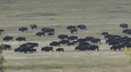 P01256 Nomadic Bison Herd Walking Stock Footage
