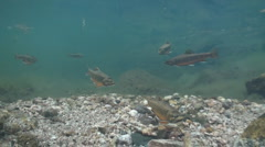 P01264 Brook Trout in Freshwater Stream Stock Footage