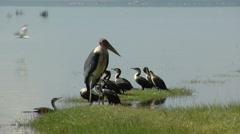 Marabou Stork P1 Stock Footage