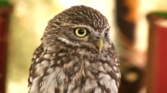 Owl Stock Footage